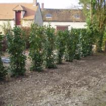 plantation de laurier